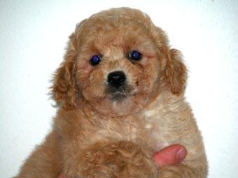 Cavoodle Puppies on Cavoodle  Ckc X Poodle