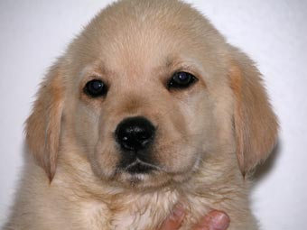 Image Seo All 2 Golden Lab Puppies Post 4