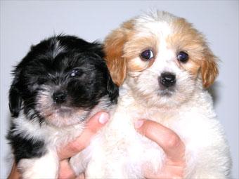 Maltese Terrier X