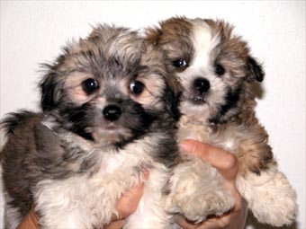 Silky+terrier+cross+maltese