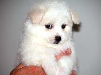 Westie Puppies on Www Acapups Com Au Puppies Maltese X Westie Maltese X Westie Html