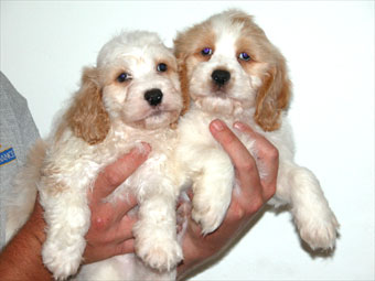 Spoodle Puppies on This Is A Cross Between A Cocker Spaniel And A Poodle   May Be A